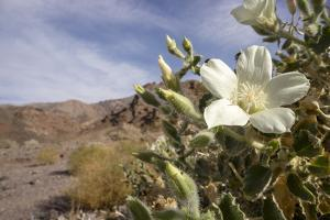 Rock Nettle in Bloom, Death Valley National Park, California by Rob Sheppard
