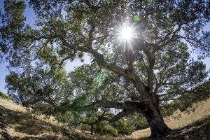 Spreading Oak Tree with Sun, Sonoma, California by Rob Sheppard