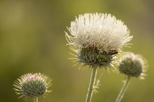 White Thistle, Red Rock Canyon Conservation Area, Las Vegas, Nevada by Rob Sheppard