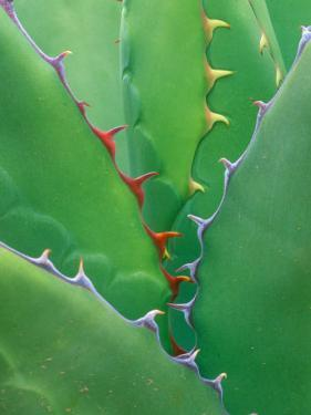 Agave, Sonora Desert Museum, Tucson, Arizona, USA by Rob Tilley