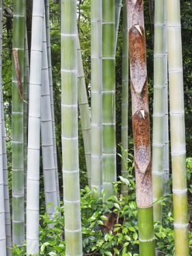 Bamboo at Shukkei-En Garden, Hiroshima, Japan by Rob Tilley