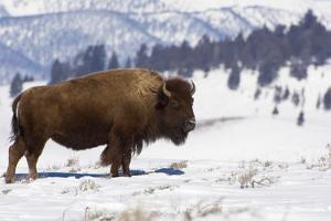 Bison Bison by Rob Tilley