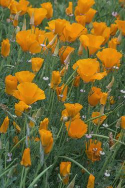 California, Santa Barbara Botanical Garden, California Poppy by Rob Tilley