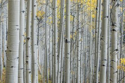 Colorado, Gunnison National Forest, Aspen Trunks with Autumn Color by Rob Tilley