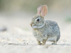 Desert Cottontail Rabbit, Rio Grande Valley, Texas, USA by Rob Tilley
