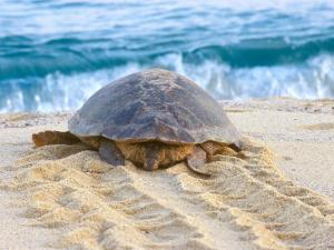 Loggerhead Turtle, Nagata, Kagoshima, Yakushima, Japan by Rob Tilley