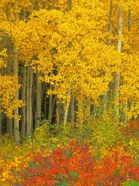 Quaking Aspen and Sumac, Routt National Forest, Colorado, USA by Rob Tilley
