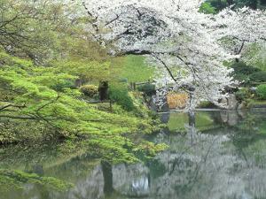 Sakura, Koishikawa Koraku-en Garden, Tokyo, Japan by Rob Tilley