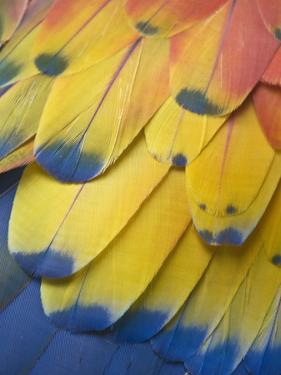 Scarlet Macaw Feather Detail, Chichicastenango, Western Highlands, Guatemala by Rob Tilley