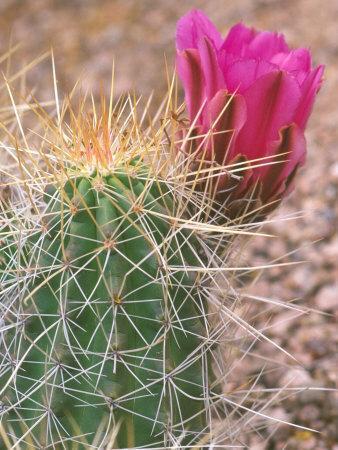 Strawberry Hedgehog Cactus, Desert Botanical Museum, Phoenix, Arizona, USA