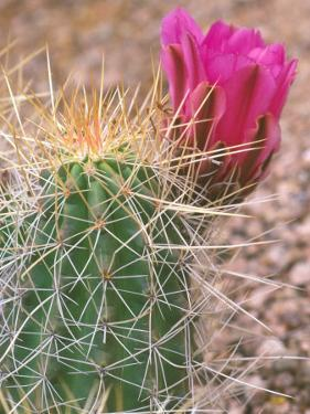 Strawberry Hedgehog Cactus, Desert Botanical Museum, Phoenix, Arizona, USA by Rob Tilley
