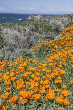 USA, California, Near Big Sur, California Poppies on the Central Coast by Rob Tilley
