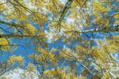 Usa, Colorado, Gunnison National Forest, Looking up in an Autumn Aspen Grove by Rob Tilley