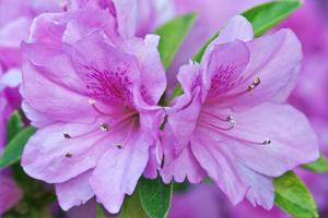 USA, Ga, Pine Mountain, Callaway Gardens, Azalea Flower by Rob Tilley