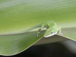 USA, Hawaii, Oahu, Green Anole by Rob Tilley