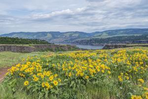 USA, Oregon. Tom McCall Nature Preserve, Rowena Plateau wildflowers. by Rob Tilley