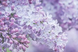 USA, Washington State, Seattle. Kubota Garden, lilac close-up. by Rob Tilley
