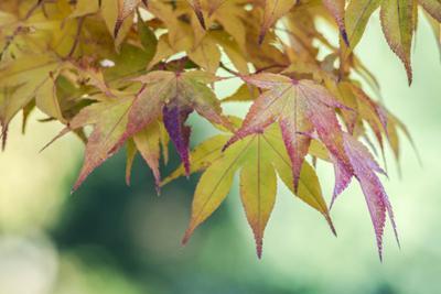 USA, Washington State, Seattle. Kubota Japanese Garden, Autumn Leaves by Rob Tilley