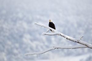 A Bald Eagle, Haliaeetus Leucocephalus, Perches on a Snowy Branch by Robbie George