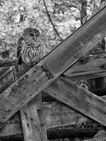 A Barred Owl, Strix Varia, Sits on a Farmer's Gate by Robbie George