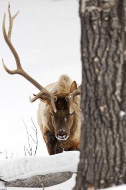 A Bull Elk, Cervus Elaphus, in a Snowy Landscape by Robbie George