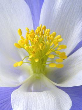 A Colorado Columbine Wildflower, Aquilegia Coerulea by Robbie George