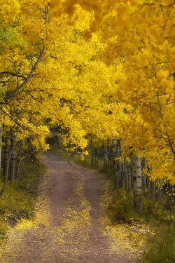A Dirt Road Through a Grove of Aspen Trees with Golden Autumn Foliage by Robbie George