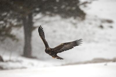 A Golden Eagle, Aquila Chrysaetos, Flying Through a Snowy Landscape by Robbie George