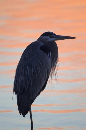 A Great Blue Heron, Ardea Herodias, Stands Still in the Sunlight Painted Early Morning Waters by Robbie George