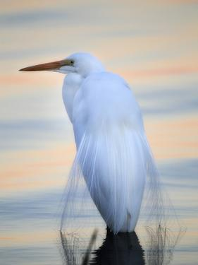 A Great White Egret, Ardea Alba, in a Lake at Sunset by Robbie George