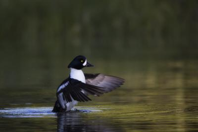 A Male Barrow's Goldeneye Duck, Bucephala Islandica, Flapping its Wings over the Water by Robbie George