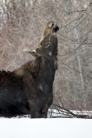 A Moose, Alces Alces, Foraging on Young Twigs as the Sparse Winter Months Leave Little to Feed On by Robbie George
