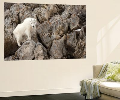A Mountain Goat, Oreamnos Americanus, in a Rocky Landscape by Robbie George