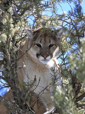 A Mountain Lion, Puma, or Cougar, Felis Concolor, Perched in a Tree by Robbie George