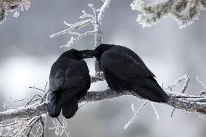A Pair of Ravens, Corvus Corax, Share an Intimate Gesture on a Frozen Branch by Robbie George