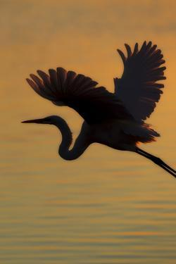 A Silhouetted Great Egret, Ardea Alba, Flying Over Water at Sunset by Robbie George