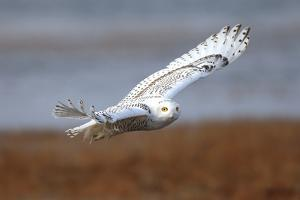 A Snowy Owl, Bubo Scandiacus, Flies over the Wintry Coast of Maine by Robbie George