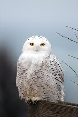 A Snowy Owl, Bubo Scandiacus, Perches on a Fence and Scans the Winter Landscape by Robbie George