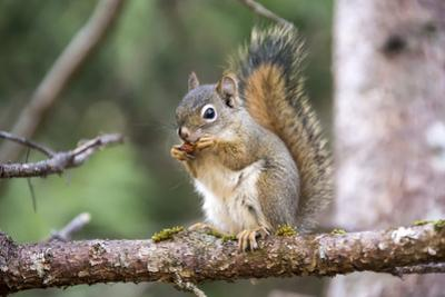 An American Red Squirrel, Tamiasciurus Hudsonicus, Nibbles on a Nut by Robbie George