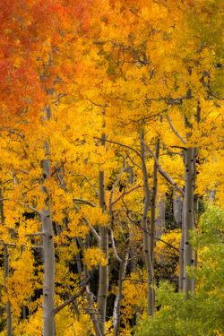 Aspen Trees in Bright Autumn Colors by Robbie George