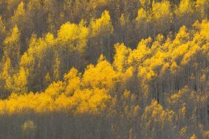 Aspen Trees with Blazing Yellow Leaves in Autumn by Robbie George