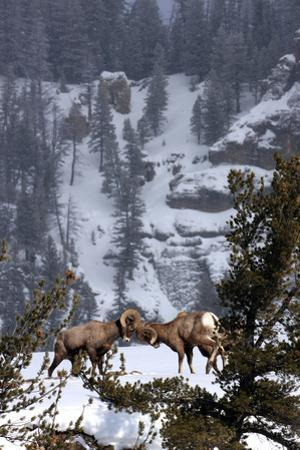 Bighorn Sheep Rams, Ovis Canadensis, Butting Heads for Dominance by Robbie George