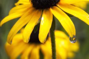 Black-eyed Susan Flowers Reflected in a Drop of Water by Robbie George