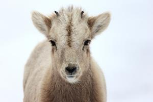 Close Up Portrait of a Bighorn Sheep Calf, Ovis Canadensis by Robbie George