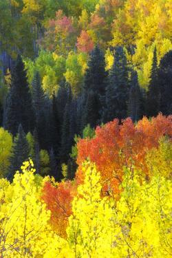 Evergreen Trees, Aspens, and Others in Brilliant Autumn Hues by Robbie George