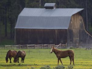 Horses Grazing in a Pasture of Dandelions Near a Barn by Robbie George