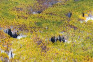 Light Snowfall in a Forest of Autumn-hued Aspen and Evergreen Trees by Robbie George