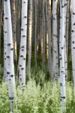 Lush Plants in Bloom at the Base of Aspen Tree Trunks by Robbie George