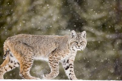 Portrait of a Bobcat, Lynx Rufus, in a Snow Shower by Robbie George