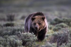 Portrait of a Grizzly Bear, Ursus Arctos, Walking Through Brush by Robbie George